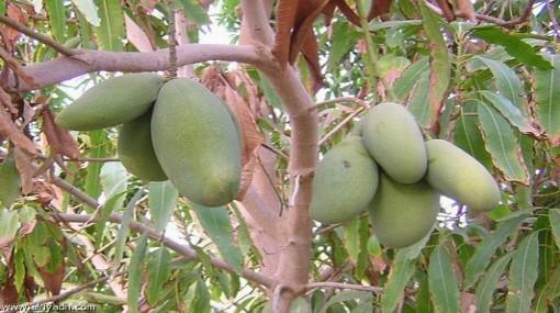 زراعة الفواكه - مشروع زراعة الفاكهة