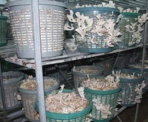 زراعة عيش الغراب في الشبك البلاستيك