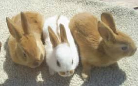 الأرنب الأنجليزي