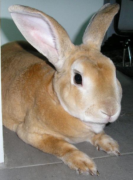 أرنب الركس
