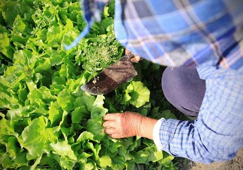 زراعة-شجيرة-الشاي-في-الأرض-الدائمة