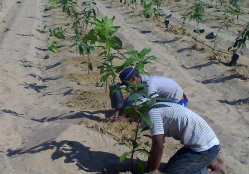 التربة المناسبة لزراعة الكمثرى