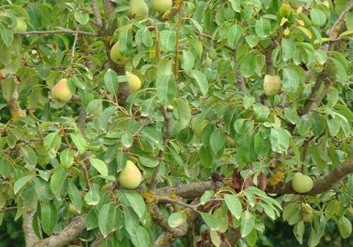 ميعاد زراعة الكمثرى - مشروع زراعة الكمثرى