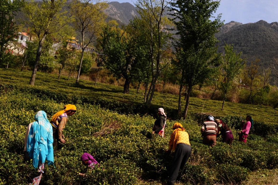 الظروف-الملائمة-لزراعة-الشاي