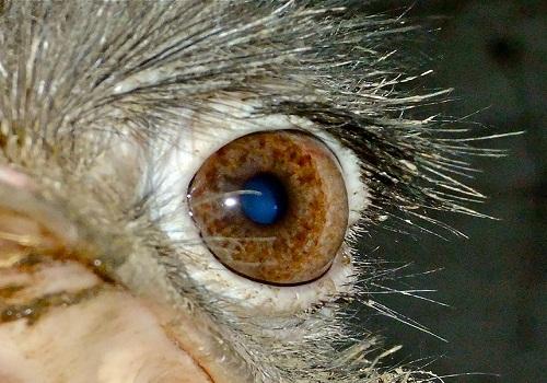 عيون النعام: استخدامات عيون النعام، عين النعام، عين النعامة
