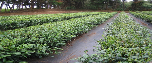 زراعة-الشاي