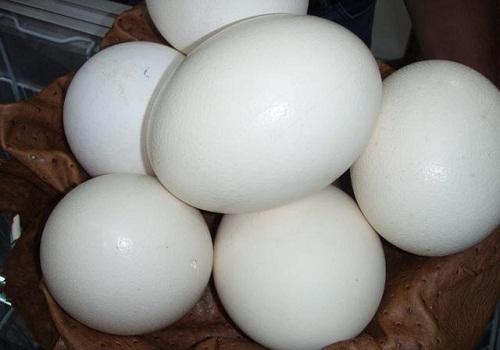 بيض النعام: تفريخ بيض النعام، انتاج بيض النعام، وزن بيض النعام