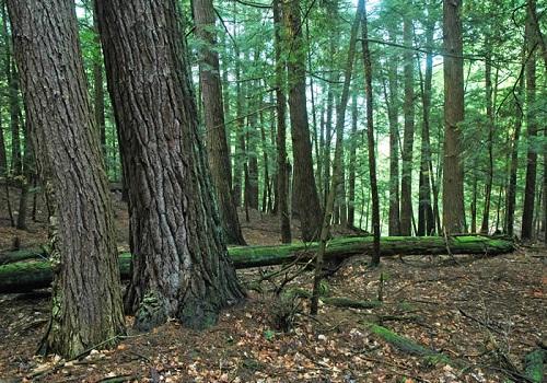 خشب الصنوبر الأبيض - الحفر على الخشب، مشروع الحفر على الخشب