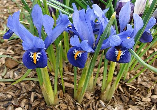 نبات السوسن - النباتات العطرية