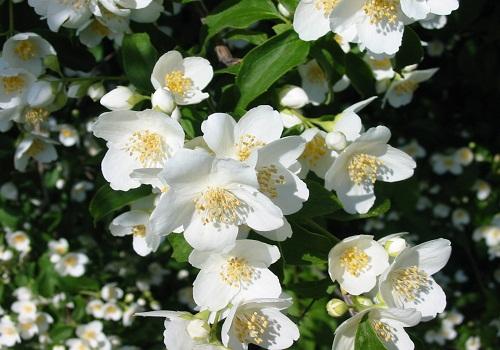 الياسمن - النباتات العطرية