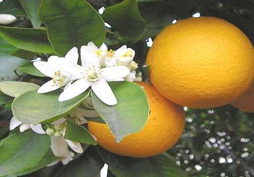 النارنج - النباتات العطرية