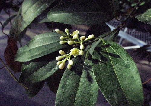 القرفة - النباتات العطرية والطبية