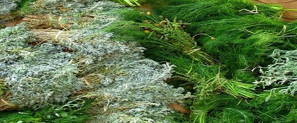النباتات العطرية - مشروع النباتات العطرية والطبية