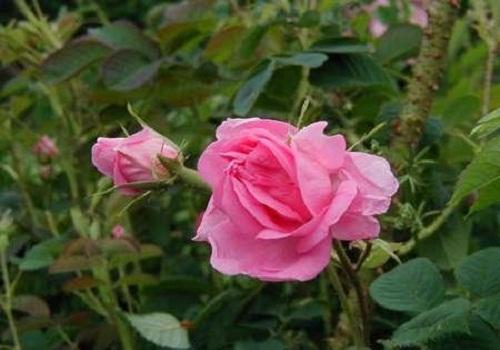 الورد البلدي - النباتات العطرية