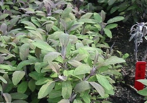 المريمية - النباتات العطرية والطبية