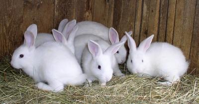 أدوية مهمة خاصة بتربية الأرانب