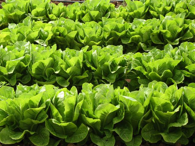 زراعة الخضروات