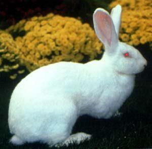 أرنب البوسكات