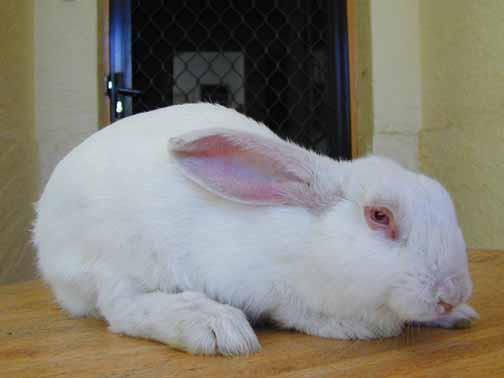 أمراض الأرانب