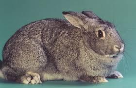 أرنب الشنشيلا
