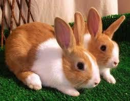أرنب الدوتش