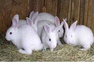 الأرنب البلدي