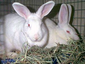 الأرنب النيوزلندي الأبيض