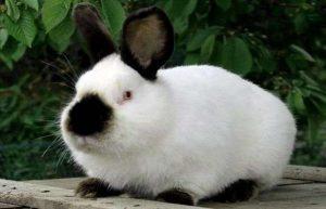 أرنب كاليفورنيا