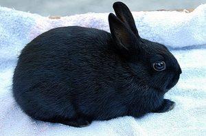 الأرنب البولندي