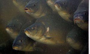 زراعة الاسماك في حقول الارز