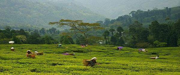 كيفية زراعة شجيرة الشاي
