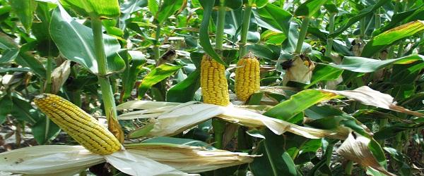 زراعة الذرة الشامية